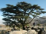 Cedar in the natural reserve of Tannourine, Lebanon (Credits: El Pais, MANUEL ANSEDE)