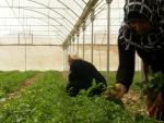 Palestinian women at work inside a greenhouse
